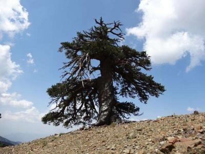 В Греции найдено старейшее дерево Европы
