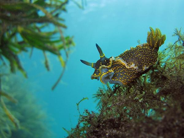 Голожаберный брюхоногий моллюск Hypselodoris picta на колонии гидроидных полипов