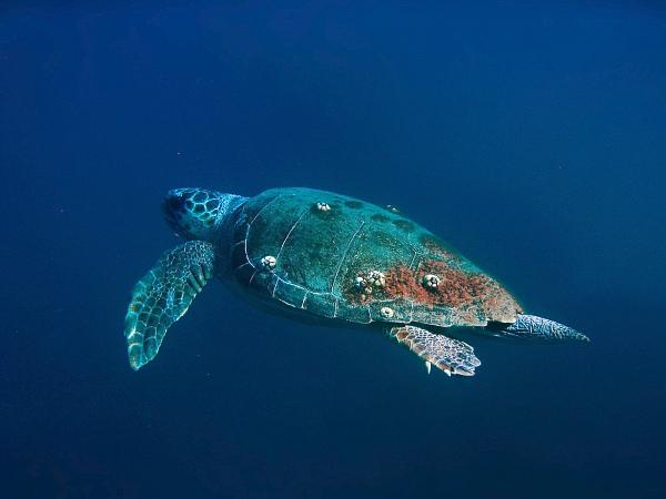 Весьма редкая гостья на Халкидиках, морская черепаха Caretta caretta